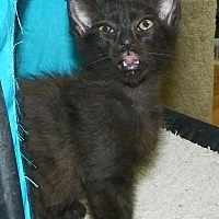 Domestic Shorthair Kitten for adoption in Fort Pierce, Florida - Jo Jo
