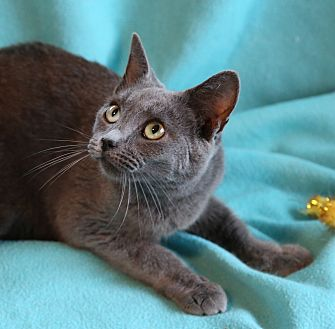 Russian Blue Cat for adoption in Hagerstown, Maryland - Tatiana