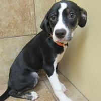Adopt A Pet :: Hannah *Petsmart GB* - Appleton, WI