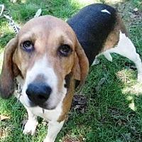 Adopt A Pet :: Junebug - Lexington, MA