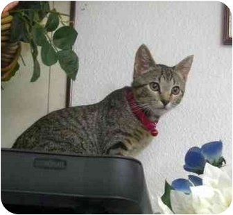 Domestic Shorthair Kitten for adoption in Palmdale, California - Button