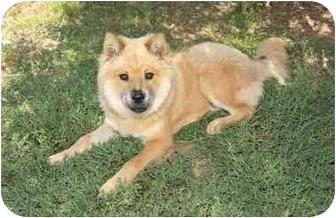 Chow Chow/Shepherd (Unknown Type) Mix Dog for adoption in Sacramento, California - Kayla