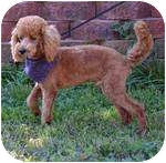 Poodle (Miniature) Dog for adoption in Rochester, New Hampshire - Cheno adopted