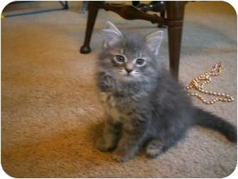 Domestic Longhair Kitten for adoption in Byron Center, Michigan - Ripkin