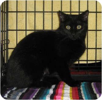 Domestic Shorthair Cat for adoption in Houston, Texas - Sylvia