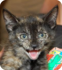 Domestic Shorthair Kitten for adoption in Brooklyn, New York - Ursa