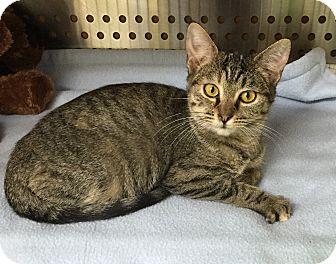 Domestic Shorthair Kitten for adoption in Mansfield, Texas - Talulah