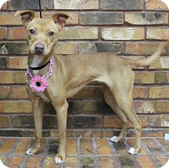 Chihuahua/Terrier (Unknown Type, Medium) Mix Dog for adoption in Benbrook, Texas - Sandy