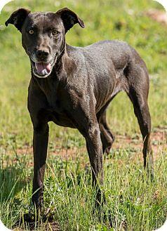 Hound (Unknown Type)/Labrador Retriever Mix Dog for adoption in Poway, California - JESSE