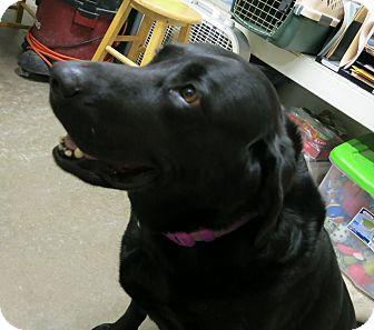 Labrador Retriever Dog for adoption in Geneseo, Illinois - Arrow