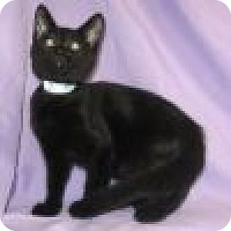 Domestic Shorthair Cat for adoption in Powell, Ohio - Riker