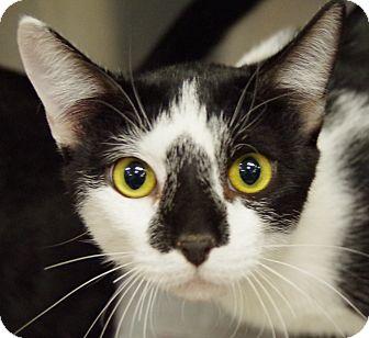 Domestic Shorthair Cat for adoption in Daytona Beach, Florida - Bruce