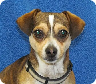 Chihuahua Mix Dog for adoption in Newburgh, Indiana - Kip- Sweet !
