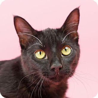 Domestic Shorthair Kitten for adoption in Columbia, Illinois - Zip