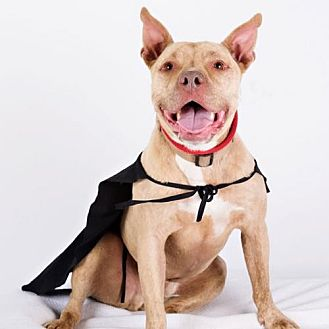 Staffordshire Bull Terrier/Pit Bull Terrier Mix Dog for adoption in Armonk, New York - Winston