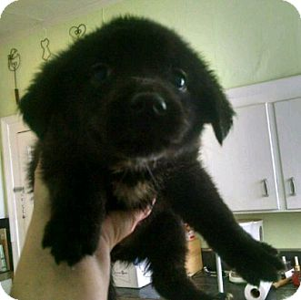 Norwegian Elkhound/Labrador Retriever Mix Puppy for adoption in Livonia, Michigan - D4 Litter-Scout-ADOPTED