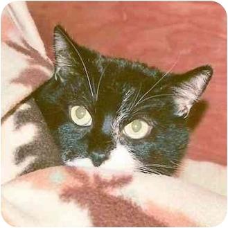 Domestic Shorthair Cat for adoption in El Segundo, California - Sox