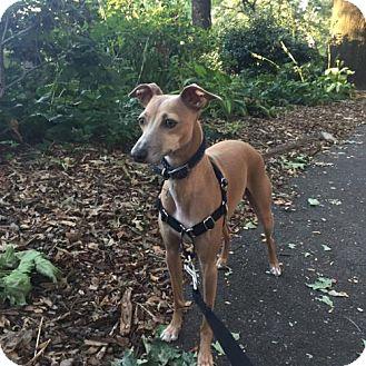 Italian Greyhound Dog for adoption in Westbury, New York - Halston (now Milo)