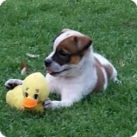 Adopt A Pet :: Icey - Allen, TX