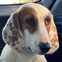 Adopt A Pet :: Donovan *Adopt or Foster* - Fairfax, VA