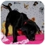 Photo 2 - Border Collie/Terrier (Unknown Type, Small) Mix Puppy for adoption in Broomfield, Colorado - Fredonia