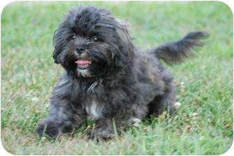 Shih Tzu Puppy for adoption in Taylor Mill, Kentucky - Pogo