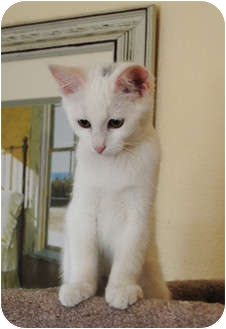Turkish Van Cat for adoption in Palmdale, California - Frannie
