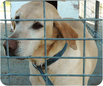 Labrador Retriever Mix Dog for adoption in Ripley, Tennessee - Stella (0208)
