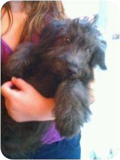 Poodle (Miniature)/Schnauzer (Miniature) Mix Puppy for adoption in Boca Raton, Florida - FL - Miley