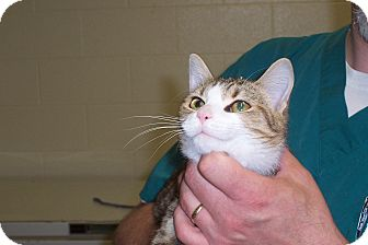 Domestic Shorthair Cat for adoption in Terre Haute, Indiana - Pickles
