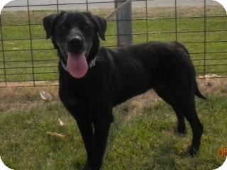 Labrador Retriever Mix Dog for adoption in Loveland, Colorado - Molly