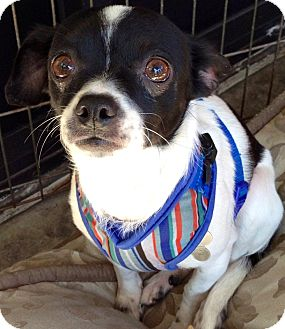 Chihuahua Mix Dog for adoption in San Diego, California - Lilli Lou