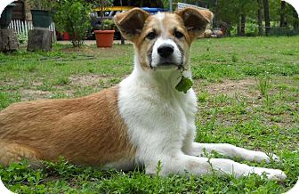 Collie/Great Pyrenees Mix Puppy for adoption in Tulsa, Oklahoma - Madeline  *Adopted