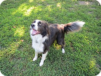 Border Collie Mix Dog for adoption in Geneseo, Illinois - Fly