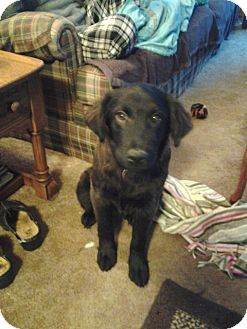 Labrador Retriever Mix Puppy for adoption in kennebunkport, Maine - Hootie - PENDING, in Maine