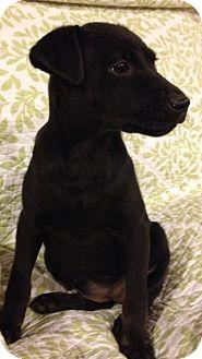 Labrador Retriever Mix Dog for adoption in Palatine, Illinois - Luna