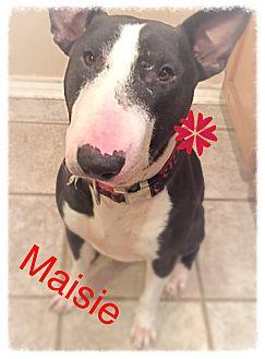 Bull Terrier Dog for adoption in Dallas, Texas - Maisie