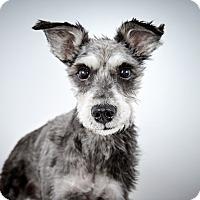 Adopt A Pet :: King Georgie - New York, NY