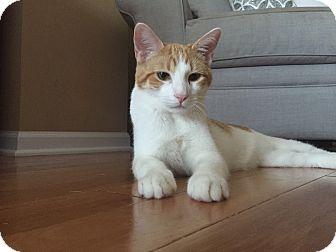 Domestic Shorthair Kitten for adoption in Palatine, Illinois - Harvey