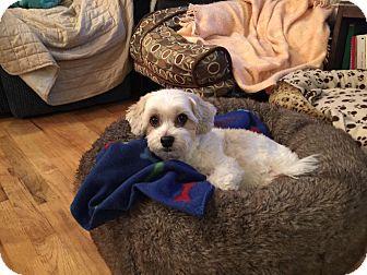 Shih Tzu/Maltese Mix Dog for adoption in Salt Lake City, Utah - Boomer