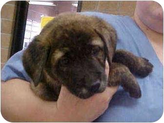 Mastiff Mix Puppy for adoption in Burnsville, North Carolina - Harley