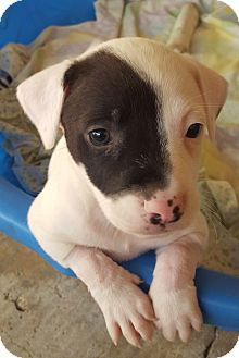 American Pit Bull Terrier Puppy for adoption in San Antonio, Texas - Puppy 1