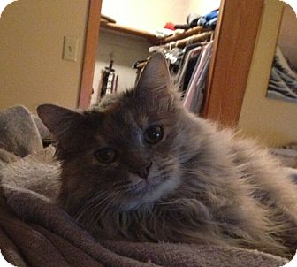 Domestic Longhair Cat for adoption in Rochester, Minnesota - Perrie