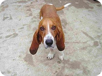 Basset Hound Dog for adoption in Texarkana, Texas - Cowboy ADOPTED TX