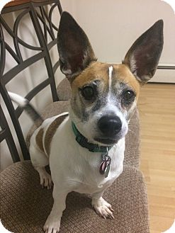 Terrier (Unknown Type, Small) Mix Dog for adoption in East Hartford, Connecticut - Fritzy in CT