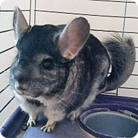 Adopt A Pet :: Oscar - gray - Granby, CT