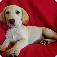 Labrador Retriever Mix Puppy for adoption in Burlington, Vermont - Sandy (see video)