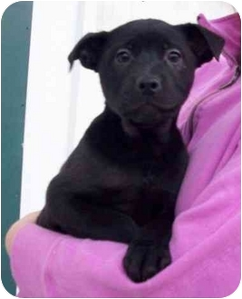 Labrador Retriever Mix Puppy for adoption in Chapel Hill, North Carolina - Grace