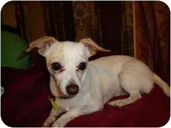 Chihuahua Mix Dog for adoption in San Diego, California - Andy
