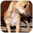 Photo 4 - Chihuahua Mix Puppy for adoption in Beverly Hills, California - Chelsea